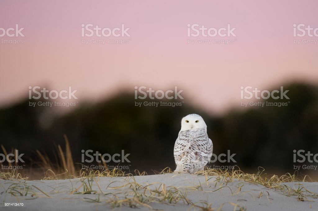 Pre-Dawn Snowy Owl stock photo