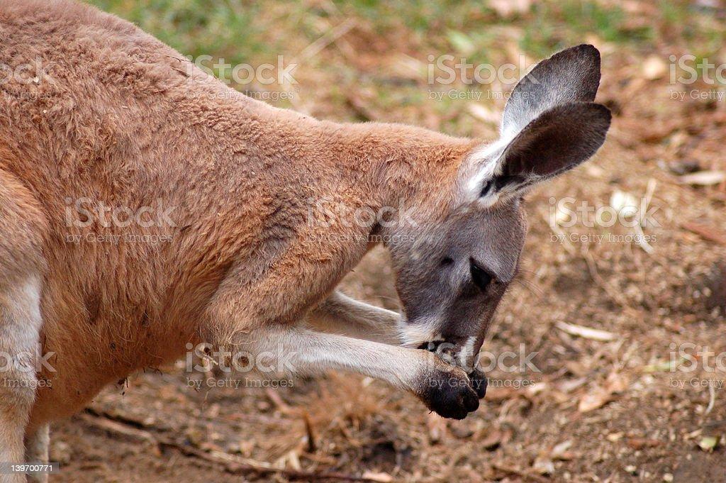 Preening Kangaroo stock photo