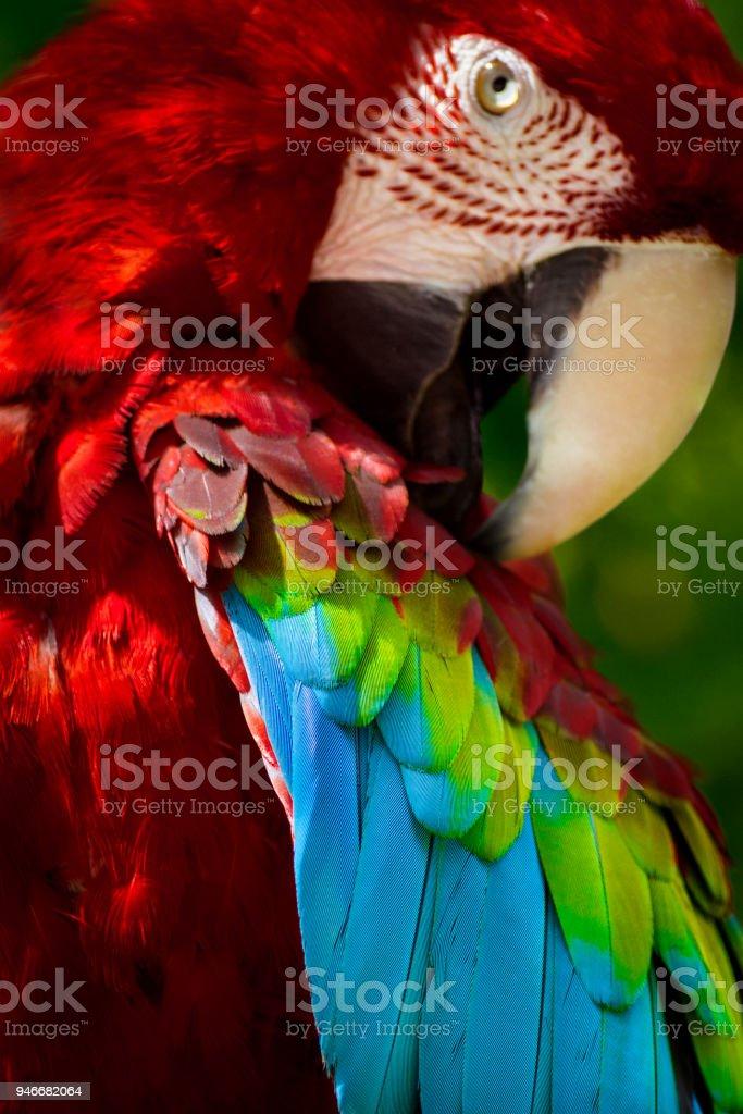 Estratagemas papagaio arara - foto de acervo