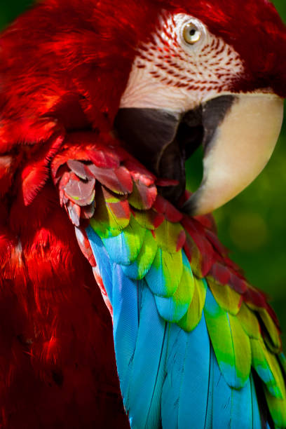 preening macaw parrot - green winged macaw stock photos and pictures