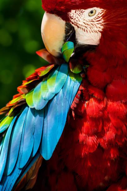 Preening macaw parrot stock photo