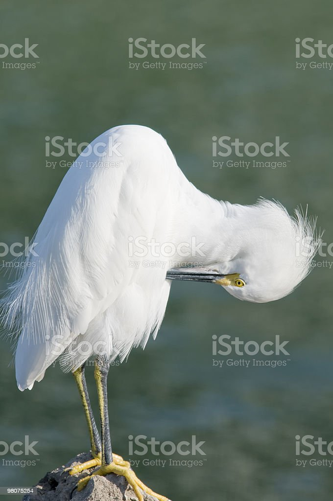 Preening snowy egret royalty-free stock photo