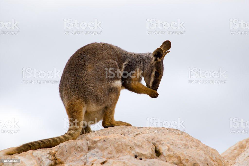 Preening Wallaby royalty-free stock photo