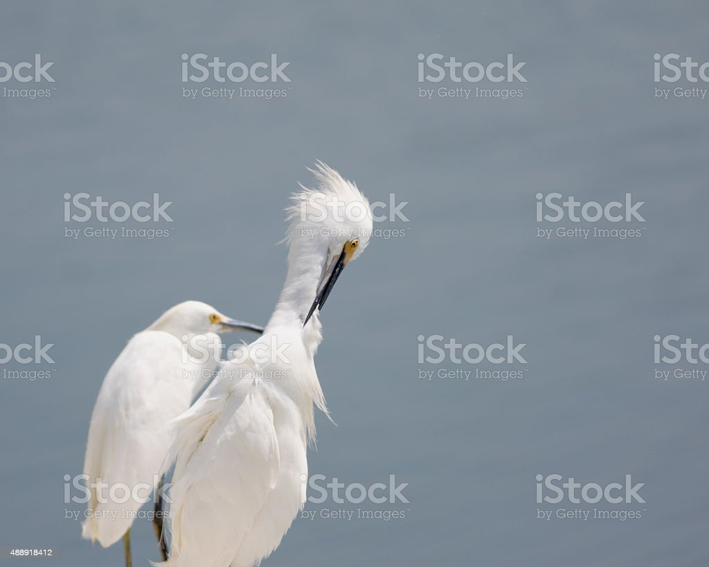 Preening White Egret stock photo