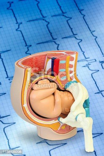 Embryo model, fetus for classroom education