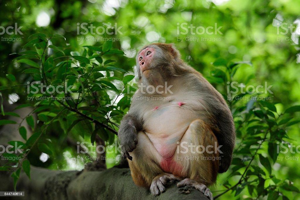 Pregnant female monkey stock photo
