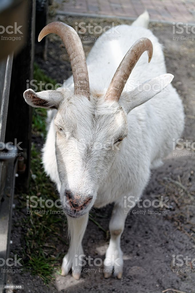 Pregnant goat stock photo