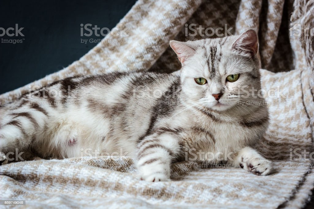 Pregnant grey cat laying on the fabric stock photo