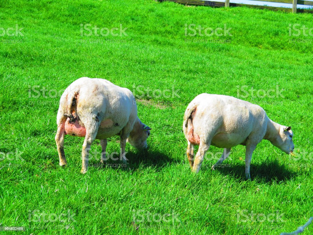 Pregnant mother sheep on grass cover dike royalty-free stock photo