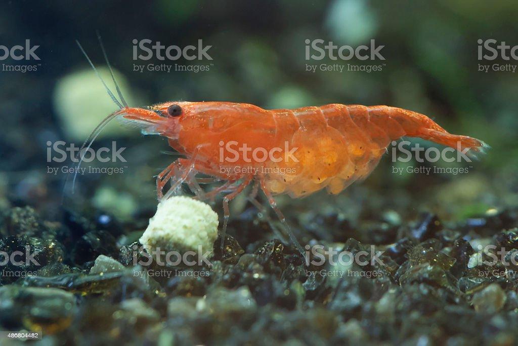 Shrimps Schwangerschaft