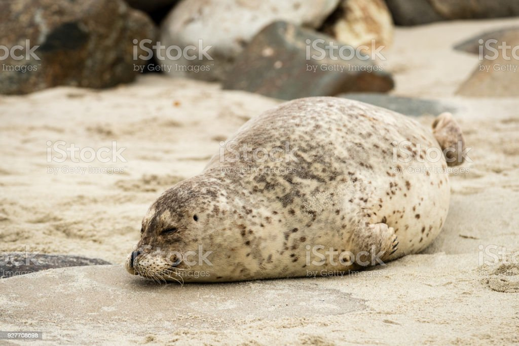 A pregnant sea seal waiting for giving birth at the La Jolla cove stock photo