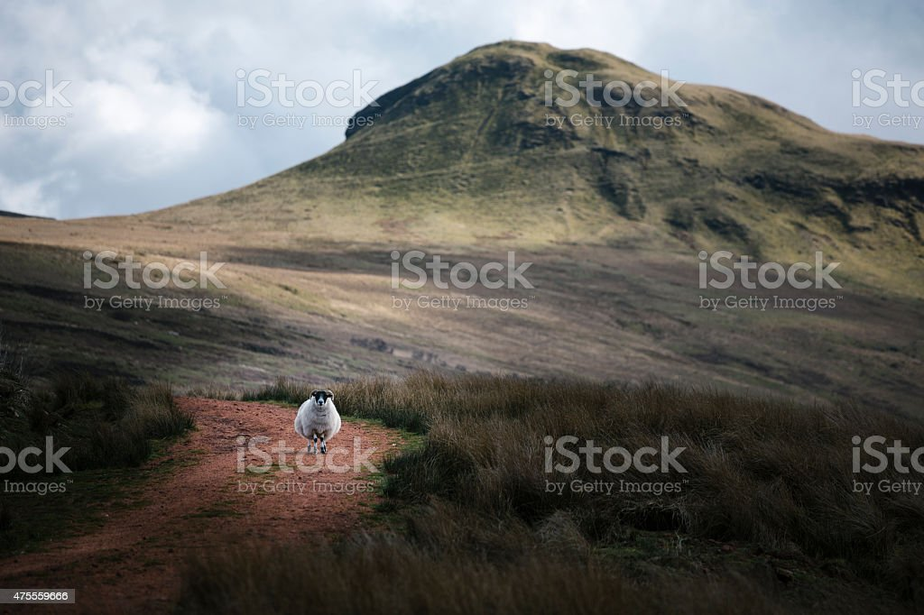 Pregnant Sheep on a Trail in the Scottish Hills stock photo
