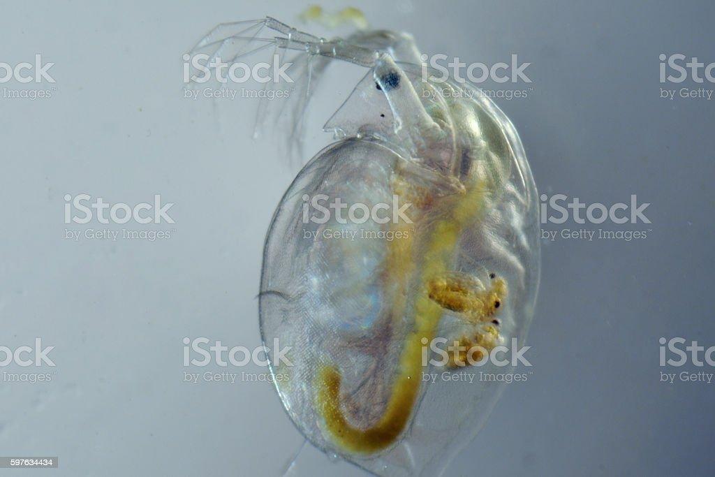Pregnant water flea stock photo