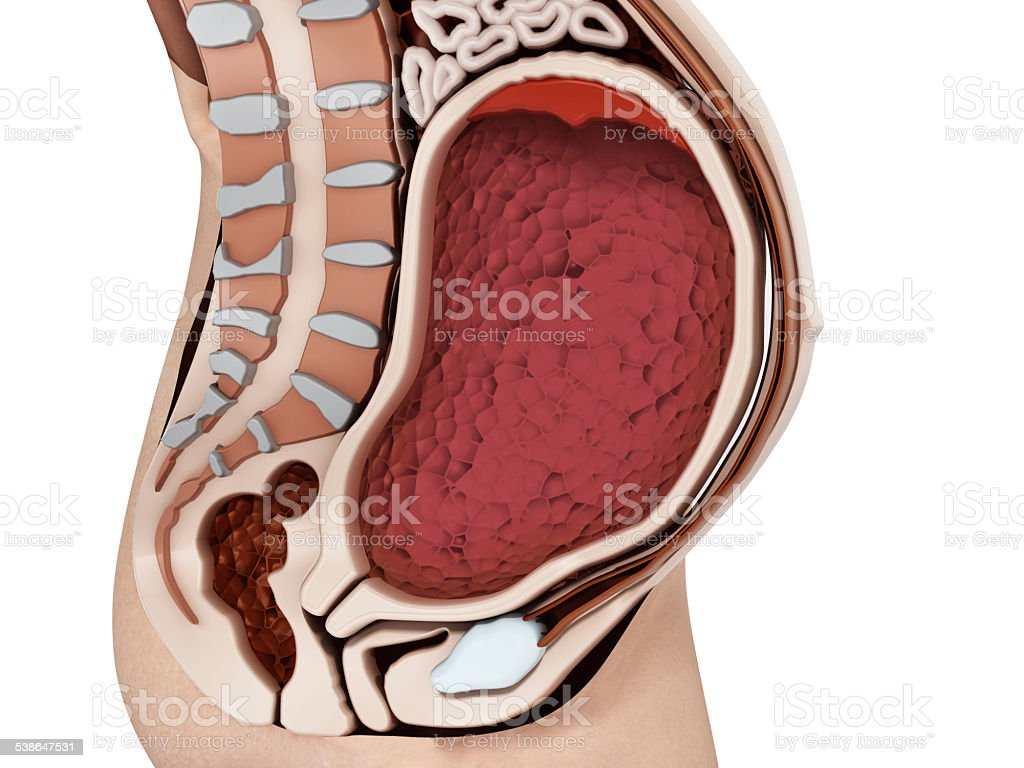 Pregnant Woman Anatomy With Empty Womb Stock Photo & More Pictures ...