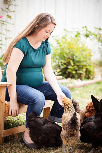 schwangere frau hühner füttert mit ihrer tochter - lustiges huhn bilder stock-fotos und bilder
