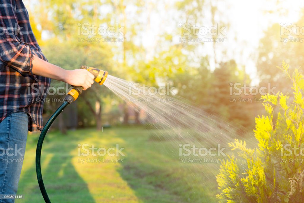 Pregnant woman watering green tree with hose. Gardening concept royalty-free stock photo