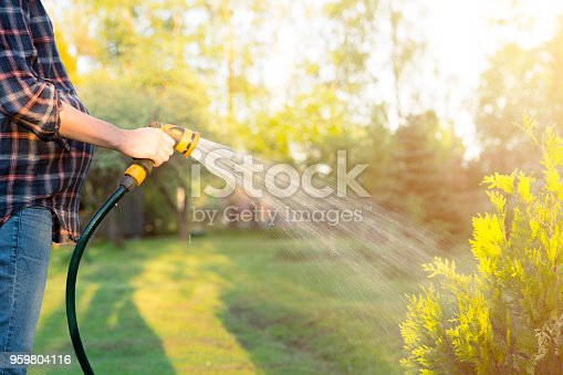 Pregnant woman watering green tree with hose. Gardening concept