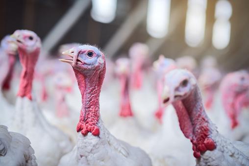 Shot of turkeys on a poultry farm