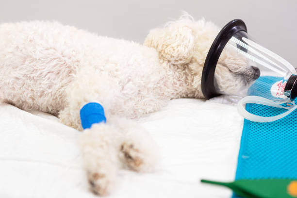 Preoxygenation in a sedated white poodle with a mask prior to picture id1178323262?b=1&k=6&m=1178323262&s=612x612&w=0&h=ills5mj4kr uls9m3ah6vl9qucrrc0rikpv1fph2dug=