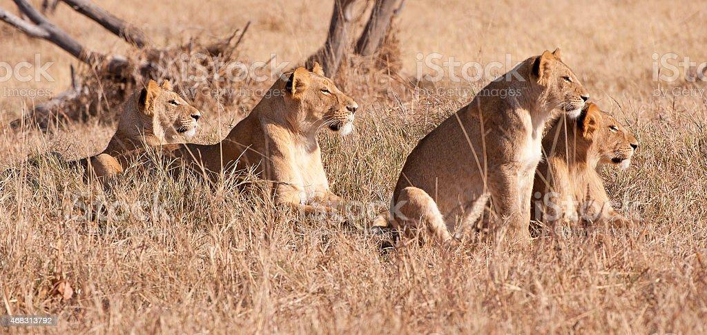 Preparation for the hunt, lions, Savuti Marsh, Chobe, Botswana stock photo