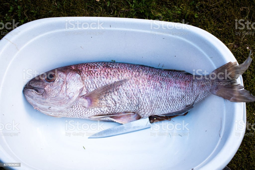Preparing big dentex fish for barbecue cooking on picnic outside. stock photo