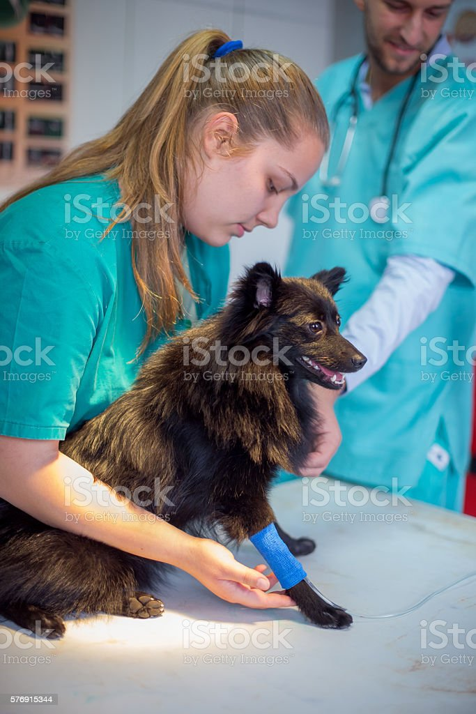 Preparing dog for medical procedure stock photo