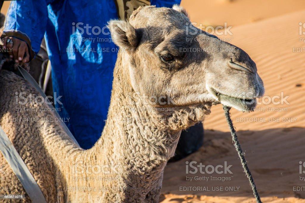 Preparing For Camel Ride at Erg Chebbi Camp stock photo