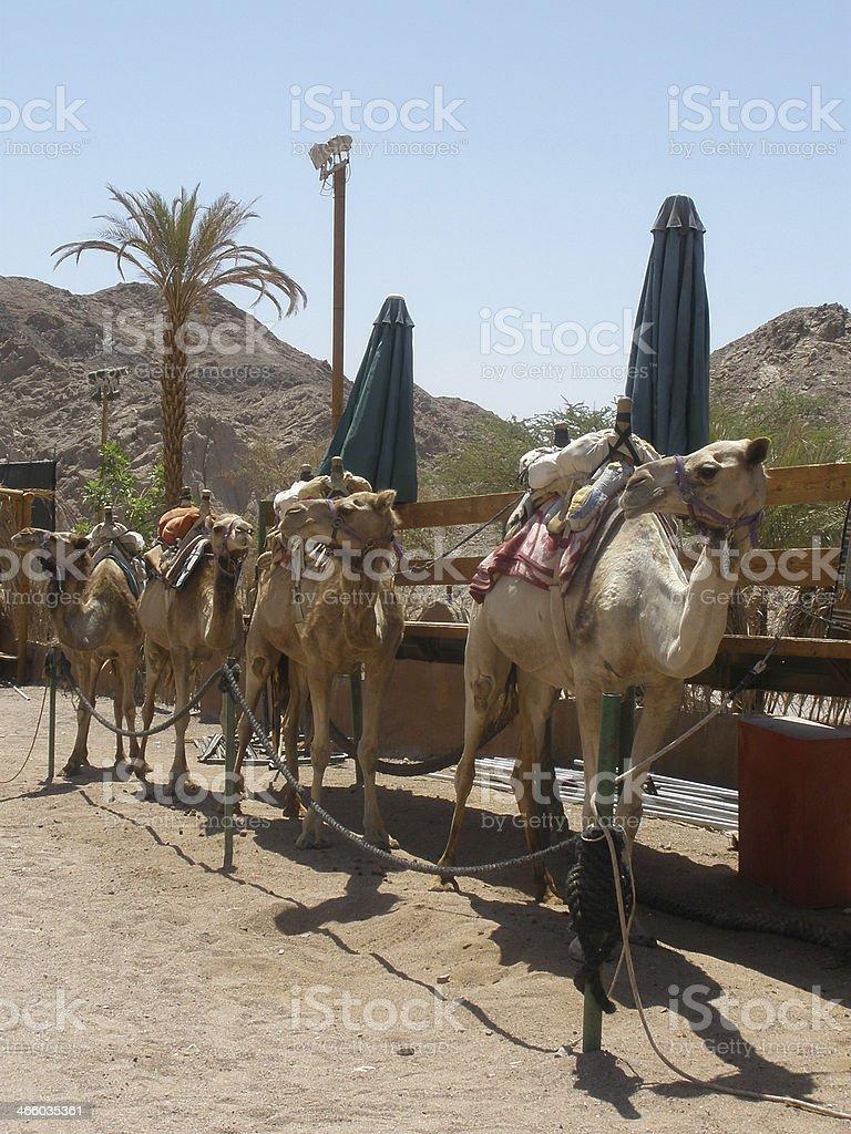 Preparing for camel safari royalty-free stock photo