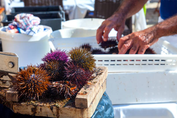 Preparing fresh sea urchins stock photo