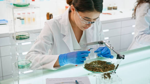 Preparing Medicine from Marijuana. Female lab worker close up stock photo