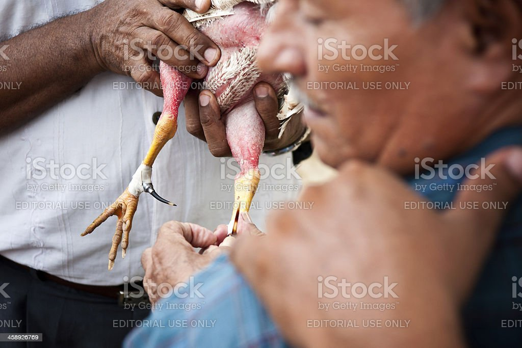 Preparing rooster for a cock fight in Cartagena, Colombia stock photo