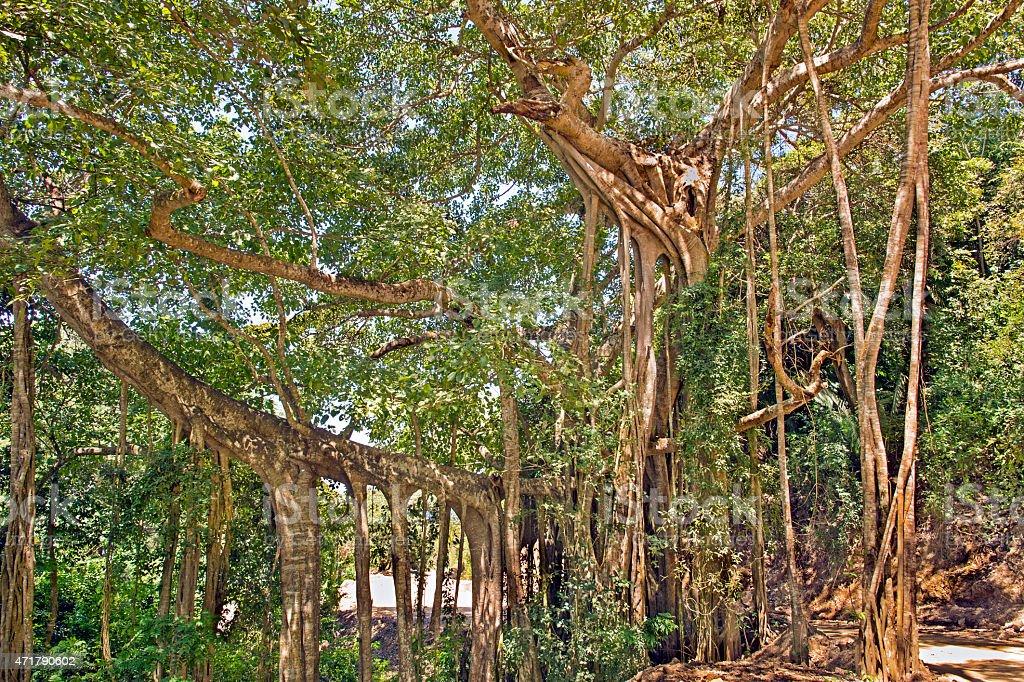 Preposterous Strangler Fig Tree in Mexico stock photo