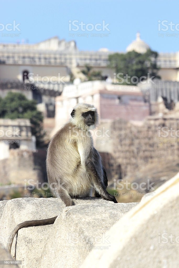 presbytis monkey on fort wall - india royalty-free stock photo