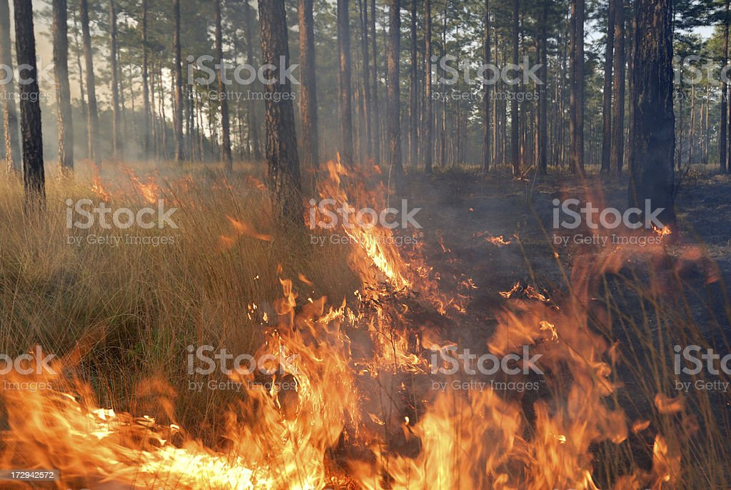 Prescribed fire in a pine forest stock photo