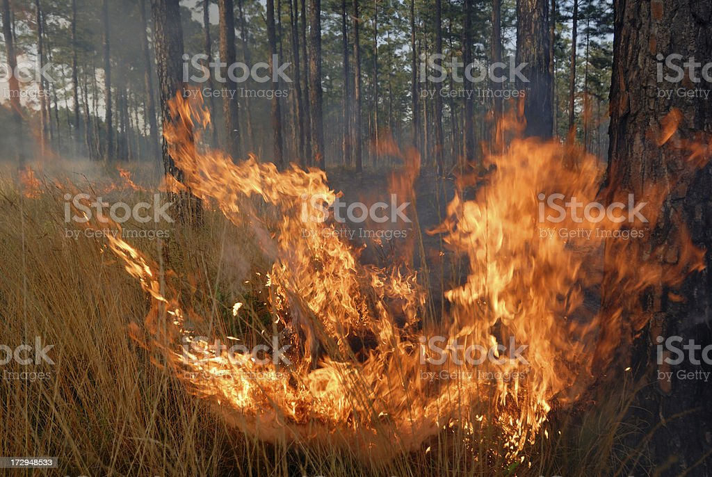 Prescribed forest fire in Southeastern pine plantation stock photo