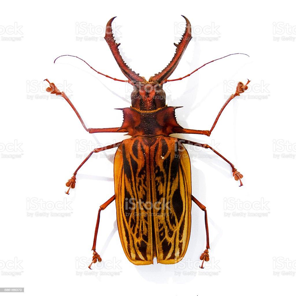 preserved longhorn beetle, Macrodontia cervicornis stock photo