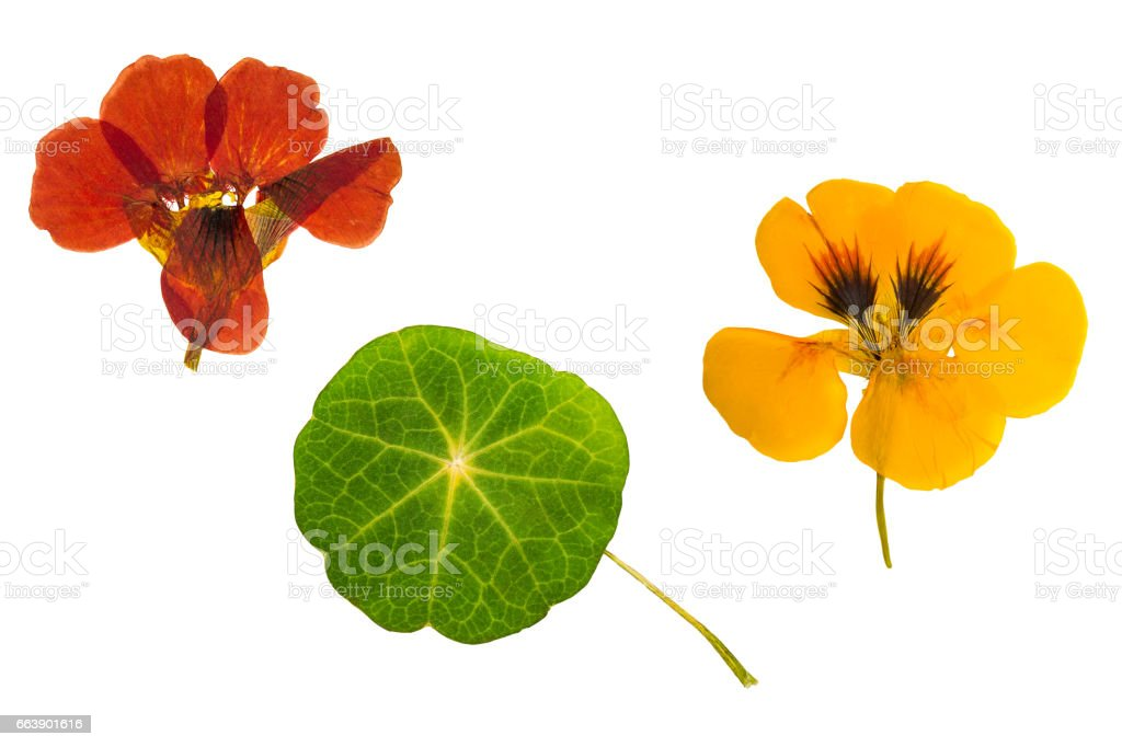 Pressed and dried brown, orange flowers nasturtium. Isolated royalty-free stock photo
