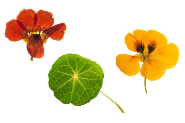 pressed and dried brown, orange flowers nasturtium. isolated - nasturtium stock photos and pictures