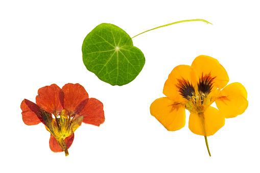 Pressed and dried brown, orange flowers nasturtium. Isolated