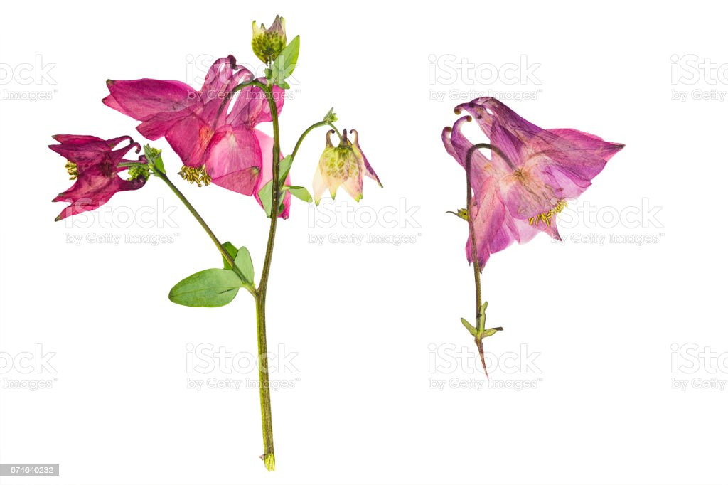 Pressed and dried bush with flower aquilegia vulgaris, isolated