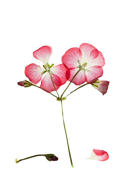 Pressed and dried bush with pink  flower geranium or pelargonium stock photo