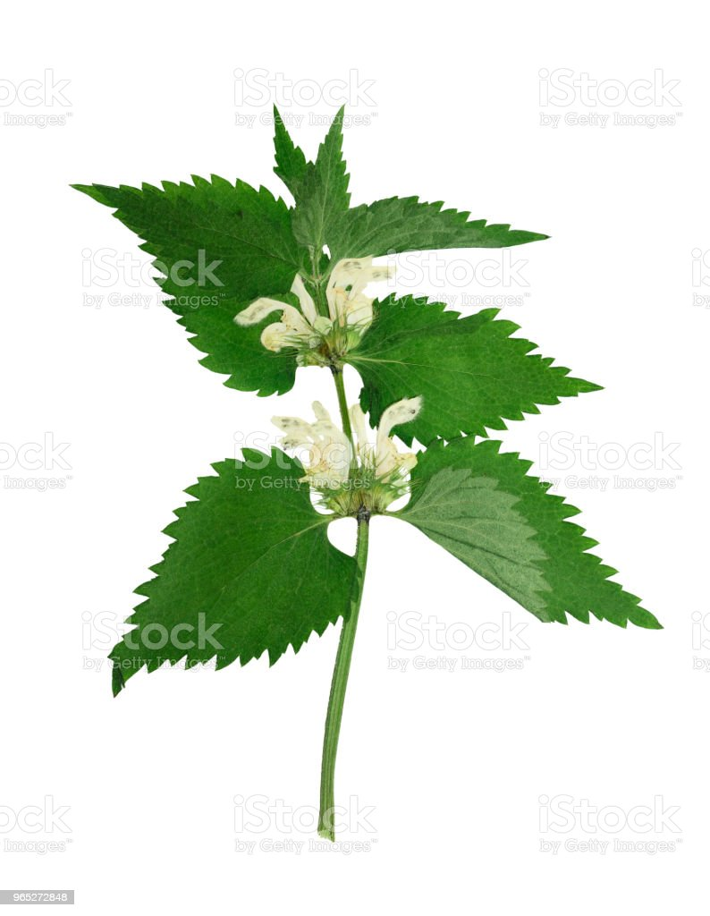 Pressed and dried  dead-nettle. Isolated on white royalty-free stock photo