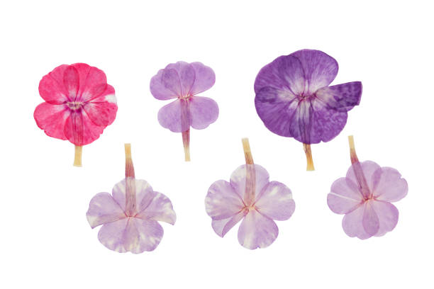 Pressed and dried delicate flowers phlox isolated on white picture id925585300?b=1&k=6&m=925585300&s=612x612&w=0&h=ye9pbikshsztv2vy9danmoaiubcvuegbpue5al3tdss=