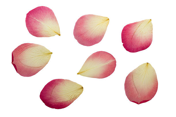 Pressed and dried delicate pink petals of rose flowers. stock photo