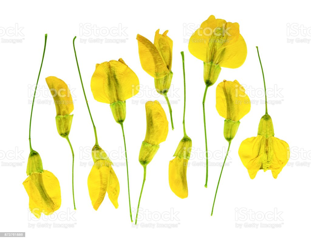 Pressed And Dried Flower Acacia Isolated Stock Photo More Pictures