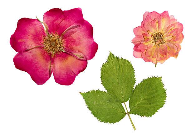Pressed and dried flower and rose hips picture id516603580?b=1&k=6&m=516603580&s=612x612&w=0&h=1azvehpwvgukf21p2yhi390va3nmruwlgasnz3i4koo=