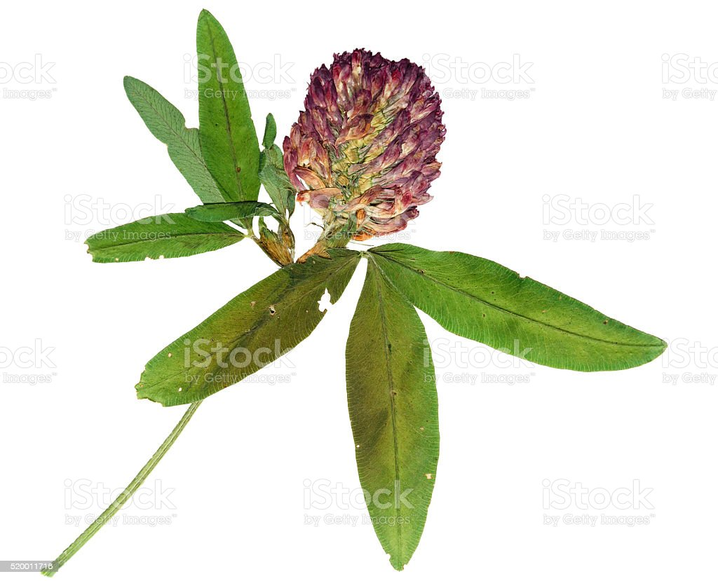 Pressed and dried flower clover. Isolated on white stock photo