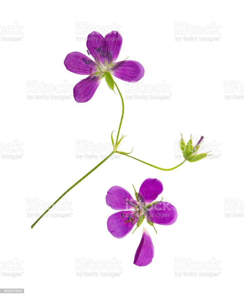 Gepressten und getrockneten Blumen Geranie Vorwand. Isoliert – Foto