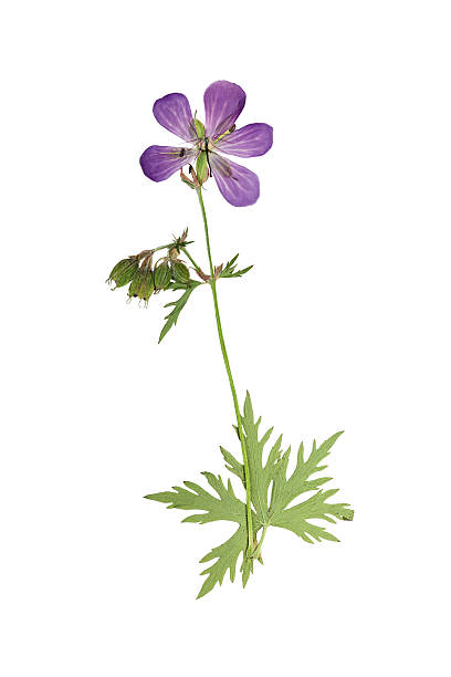 Pressed and dried flower geranium pretense stock photo