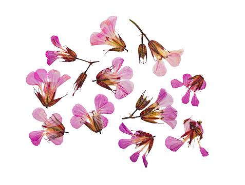 Pressed and dried flower geranium robertianum. Isolated
